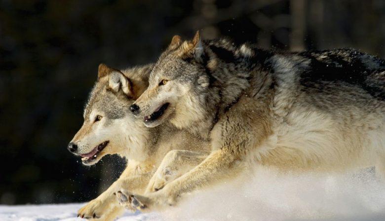 Wat managers kunnen leren van een roedel wolven