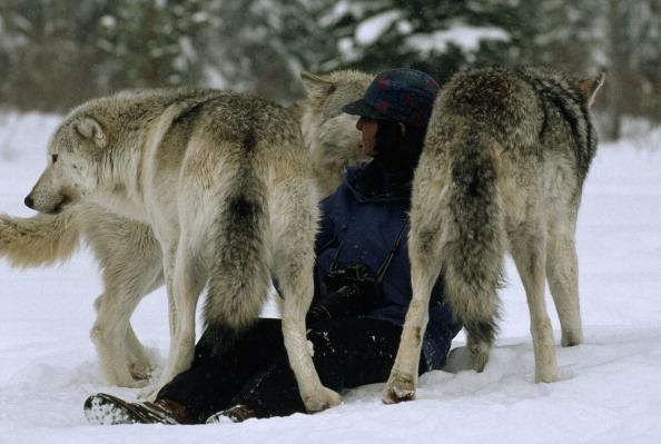 Kunnen we nu echt leren van wolven?